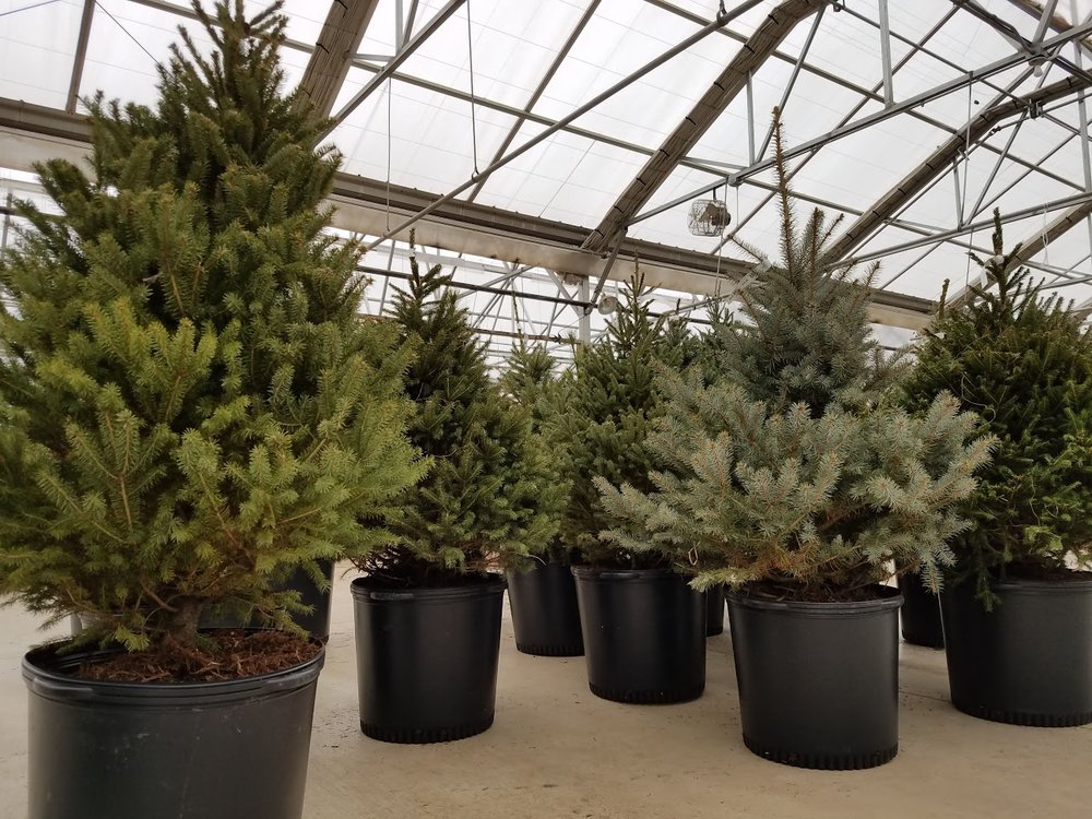 - Living Christmas trees