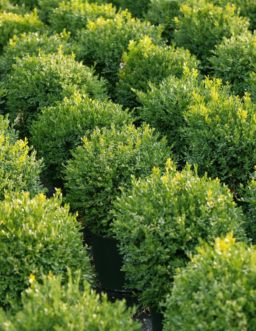 - evergreen shrubs