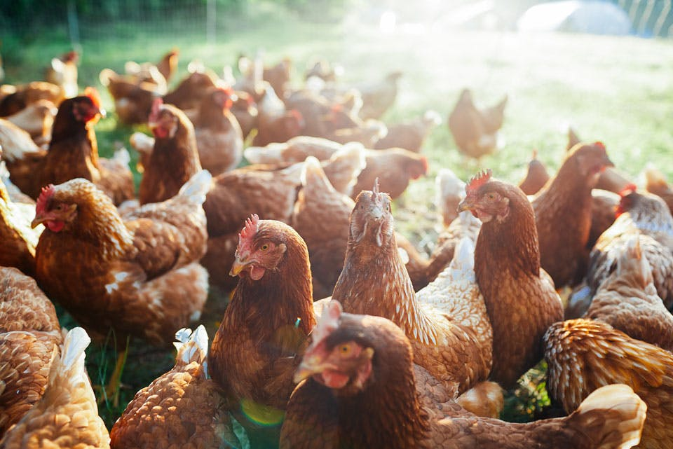 chickens-at-spice-acres-farm.jpg