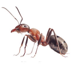Ant-250x250.png
