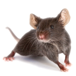 mice-1.png