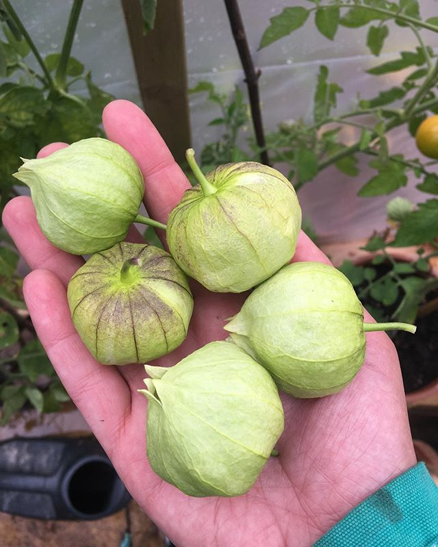 Salsa verde is on the cards.  #tomatillos #growyourownfood #vegangarden