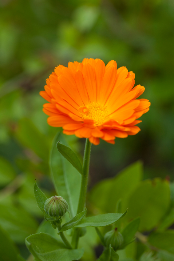 Calendula for Burns