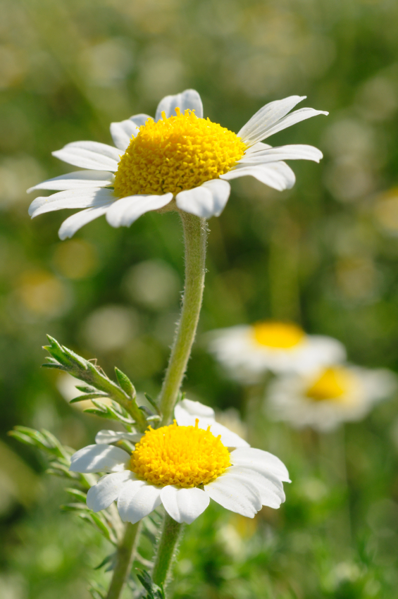 Chamomile for cramps