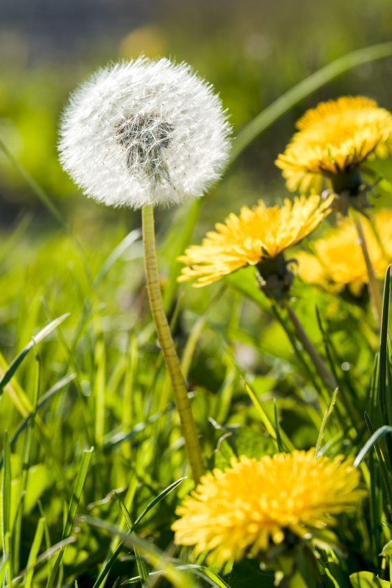 Tips To Lose Weight - Dandelion