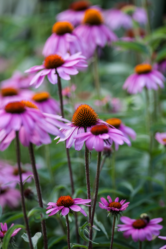 Echinacea for common cold