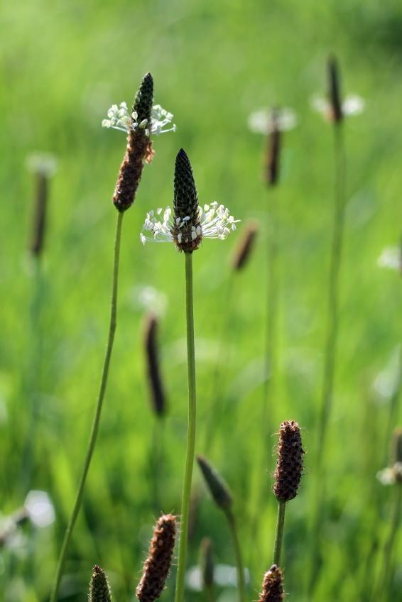 Plantain For Bronchitis