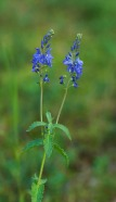 speedwell for depression