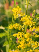 Bedstraw for blackheads