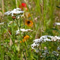 homemade-insect-reppelent-with-yarrow.jpg