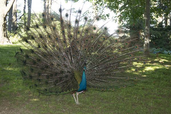 Peacock Fanning.jpg