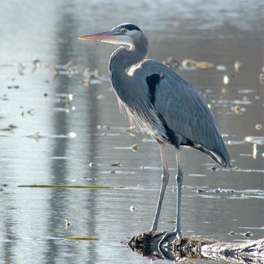 male_great_blue_heron.jpg