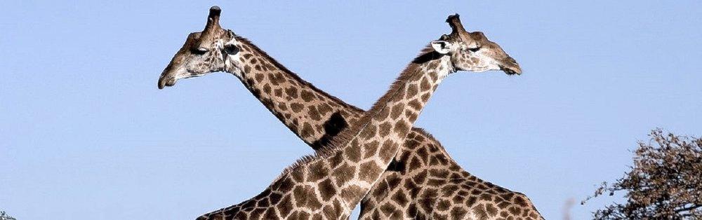 1024px-Giraffe_Ithala_KZN_South_Africa_Luca_Galuzzi_2004-1272x400.jpg