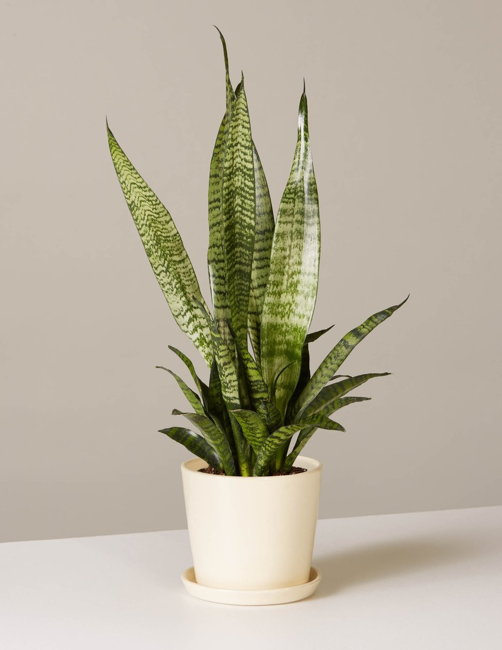 the-sill_snake-plant-szeylanica_august_cream_4_1500x.progressive.jpg