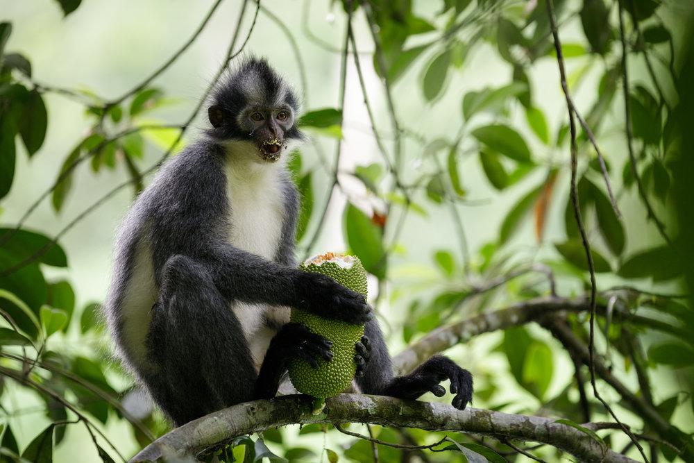 Thomas's Langur (Presbytis thomasi) eating a huge jackfruit in the jungle of Bukit Lawang, Sumatra.
