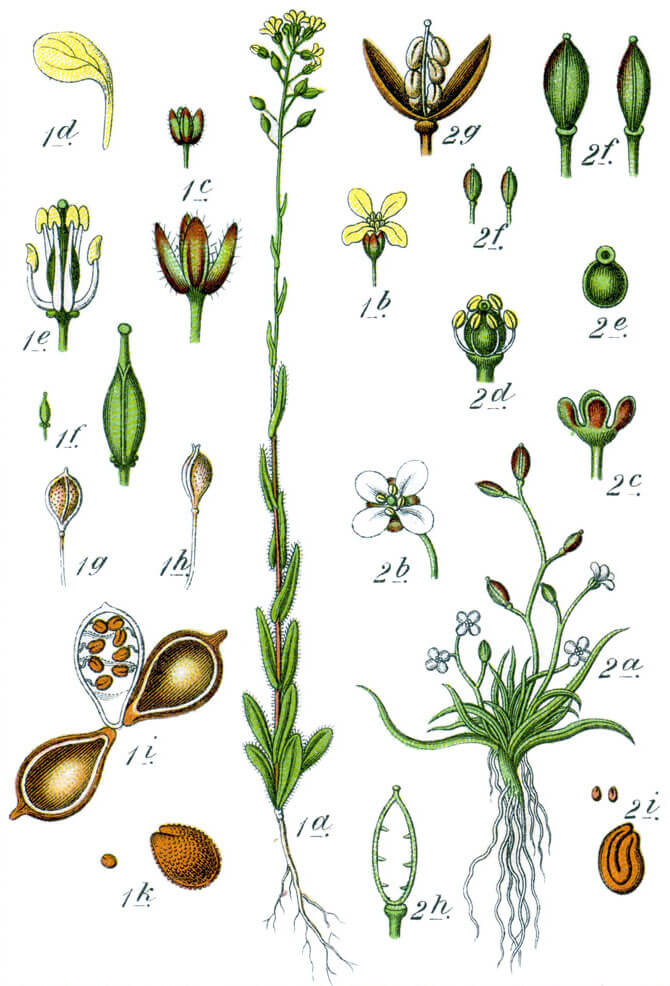 Camelina drawing