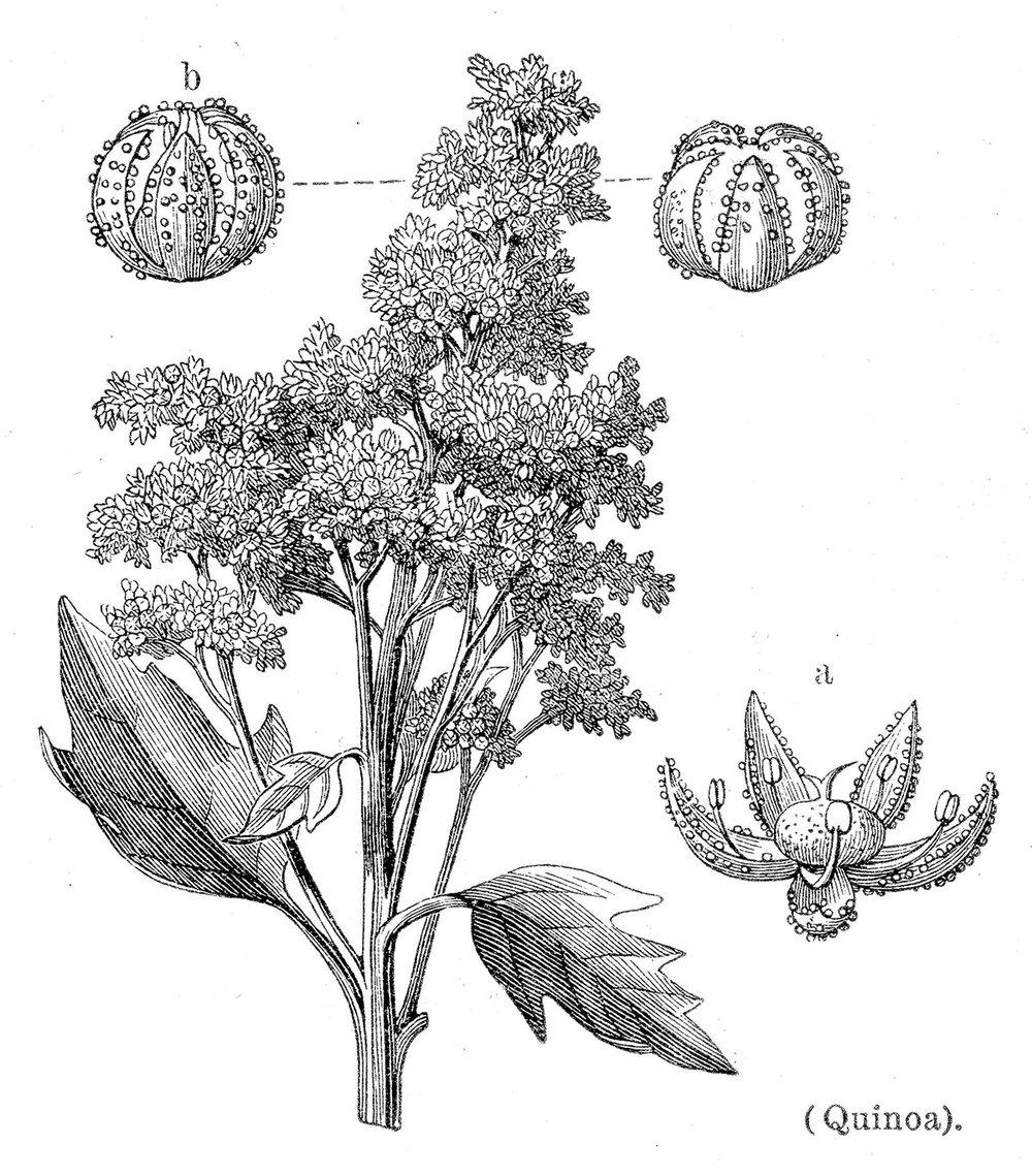 Quinoa drawing