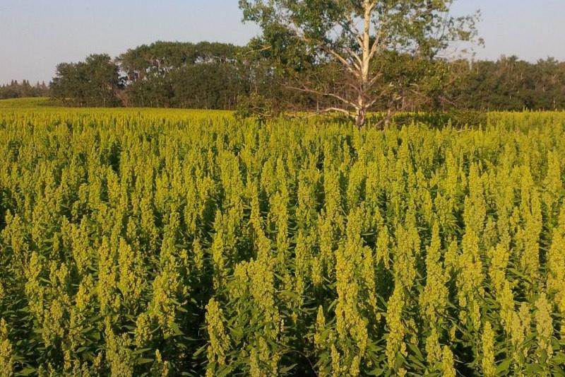 quinoa-field.jpg