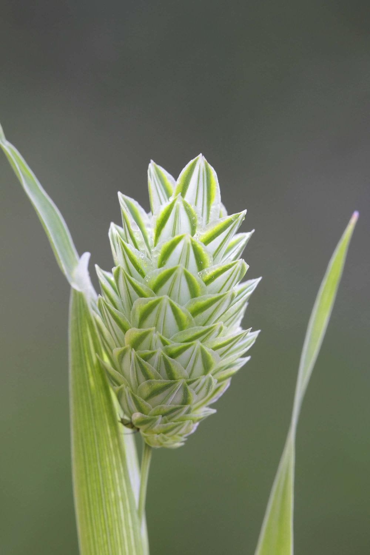 canary-grass.jpg