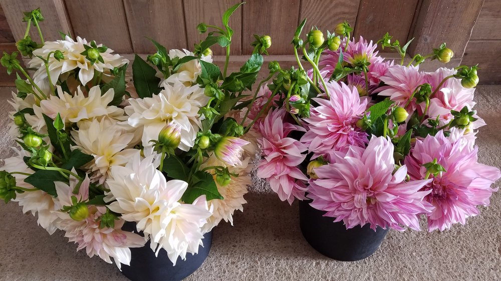 DIY Buckets of Cafe au lait dahlias