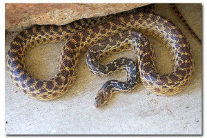 Lessons from a Gopher Snake