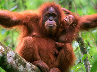 orangutan_with_baby.jpg