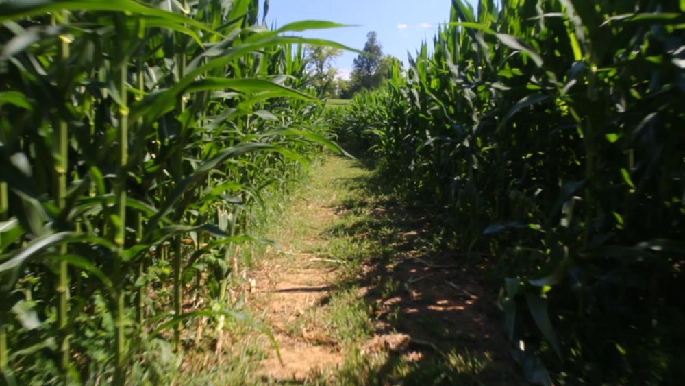 TCB Corn Maze.00_00_26_12.Still002.png