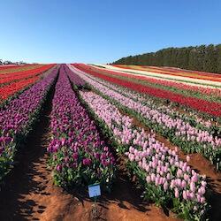 Table House Farm - Table Cape Tulip Farm