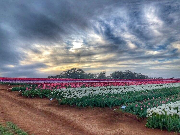 Table House Farm - next door Tulips at dusk