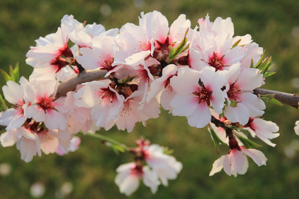 Almond blossom - The annual almond blossom in January / February covers large parts of the island with 7 million almond trees - a truly remarkable natural spectacle and the perfect time to explore the island on a hike or bike ride. Or to take the historic train from Palma to Soller.