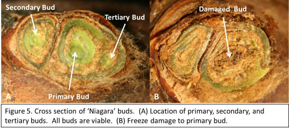 Tips:  Make several cuts when you first start evaluating buds. Take time to use some sort of magnification (reading glasses or magnifying glass) to get a good look. Good lighting can make a world of difference. The light brown material surrounding the bud tissue in figures 1-3 are okay and are examples of healthy buds. Key color indicators of freeze damage are gray, brown/green tissues, dark green, dark brown, and black (see examples in figure 6). Practice makes perfect. Cut 200 buds before you start scoring the damage… or as many as it takes for you to feel comfortable with what you are seeing.