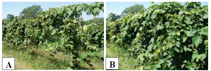 Figure 2: Photos of the difference in side canopy development in (A ) low vigor and (B) high vigorvines within a Niagara block at CLEREL.