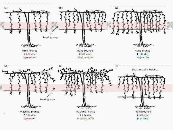 Figure 3: A schematic diagram to illustrate how the response of a canopy sensor that is sensing along the bottom trellis wire may be affected by differences in pruning strategies and trellis set-up.