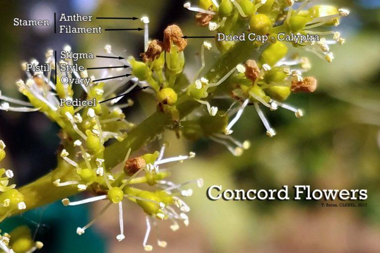 Concord Flower Anatomy: 6/14/2017