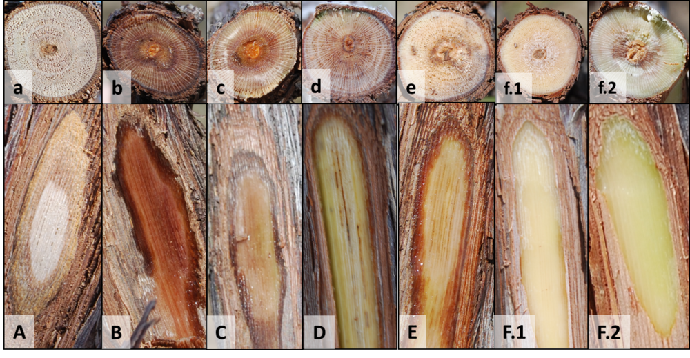 Outer layer of bark cut away (CAPS) and correspond cross section (lower case) showing varying degree of vascular damage in vine trunks. Decreasing in severity from A – F; (A) dead, (B) severe, (C) severe/moderate, (D) moderate, (E) minimal, and (F.1 & F.2) no damage.