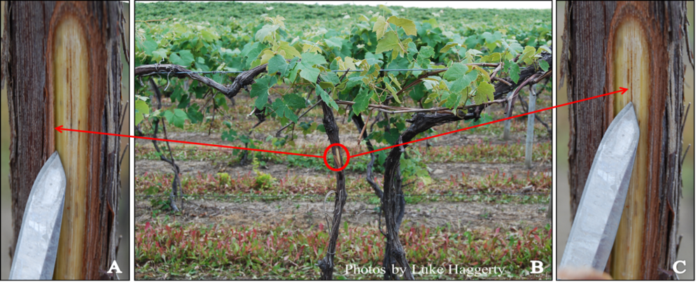 Figure 1. Winter damage on a 'Niagara' vine (A) damaged phloem (B) combination of dead buds (blind nodes) and stunted yellowed shoots (C) brown streaking indicating xylem damage.