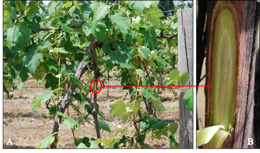 Figure 2. (A) Healthy 'Niagara' vine (B) shallow cut exposing phloem and xylem.