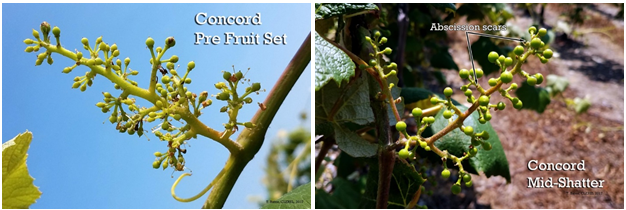 Concord Pre-Fruit Set: 6/16/2017 (left) and Concord Mid-Shatter: 6/19/2017 (right)