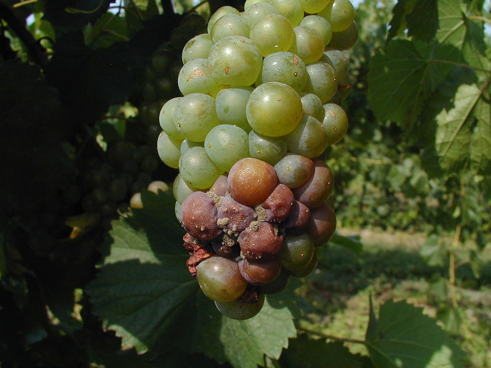 Botrytis - Fungal.Can cause severe economic loss in tight-clustered French varieties and Vitis vinifera cultivars and clones.