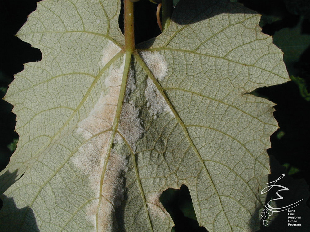 Downy Mildew - Fungus-like.Only grows on the underside of the leaf.