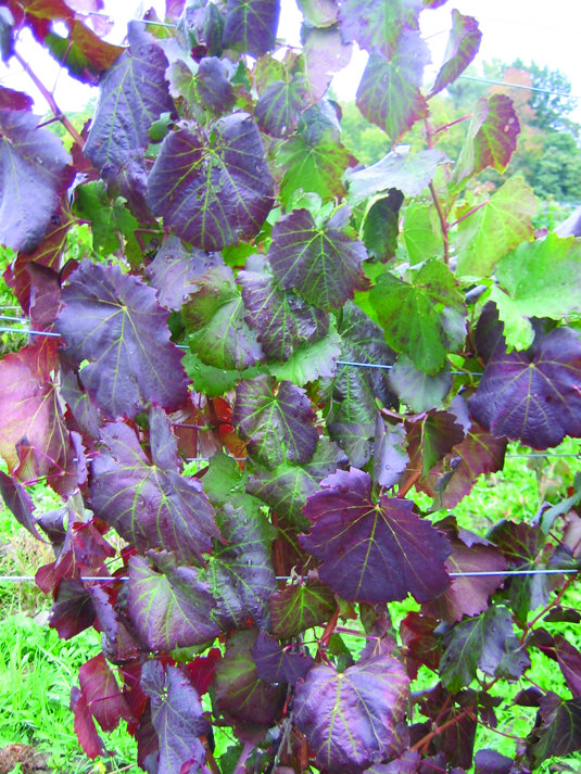 grapevine leafroll disease - Virus.Spread through vineyards by phloem feeding insects and the sale of infected nursery material.