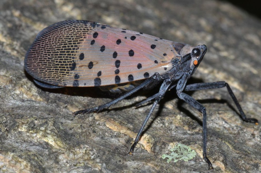 Spotted Lanternfly -