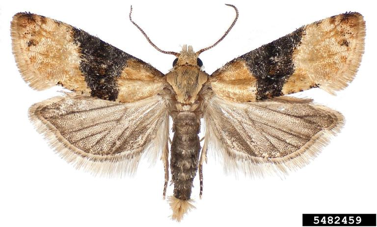 European Grape berry moth - Photo by Todd GilliganNative to Europe and Central Asia.Part of the NY CAPS project.