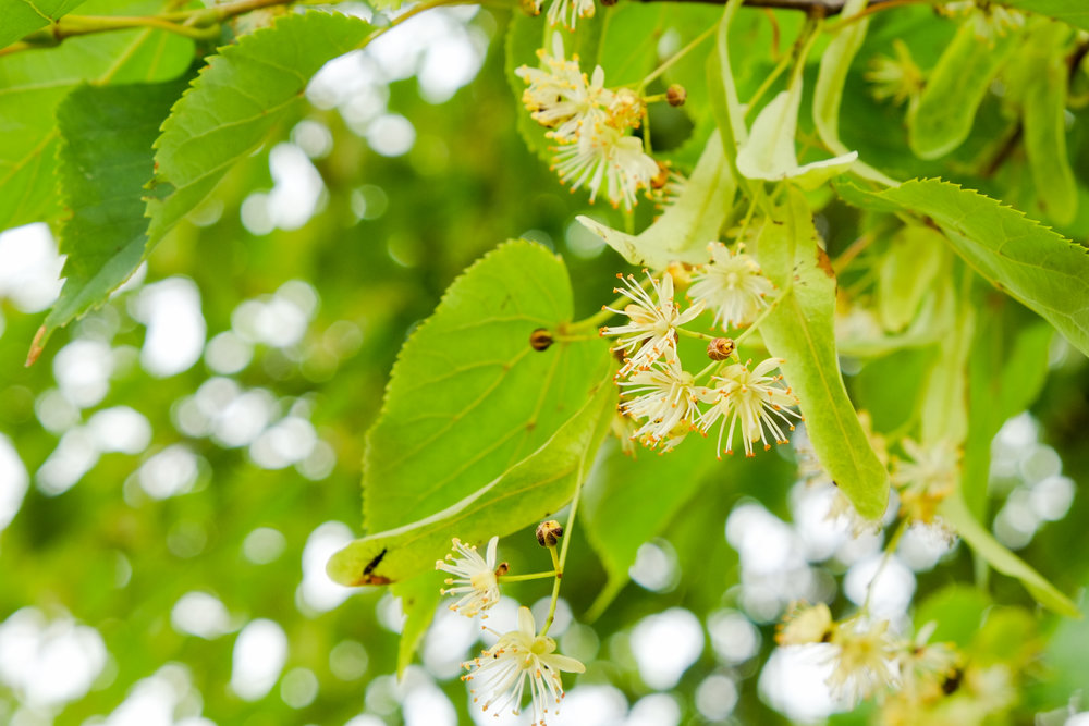 Tilia Editorial's namesake tree  (the linden tree, genus name  Tilia )