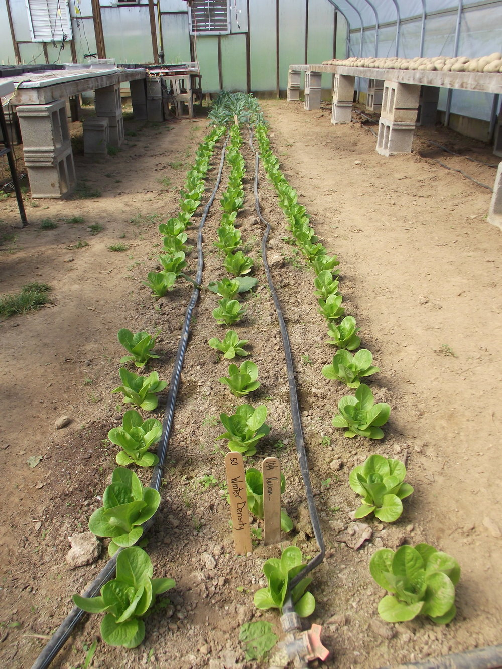 heads of romaine lettuce growing in a greenhouse