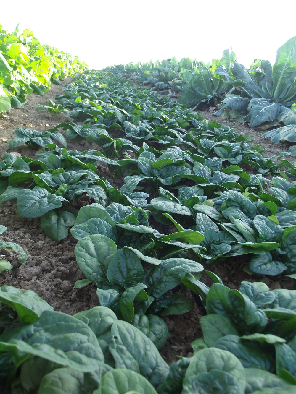 A beautiful field of spinach in autumn