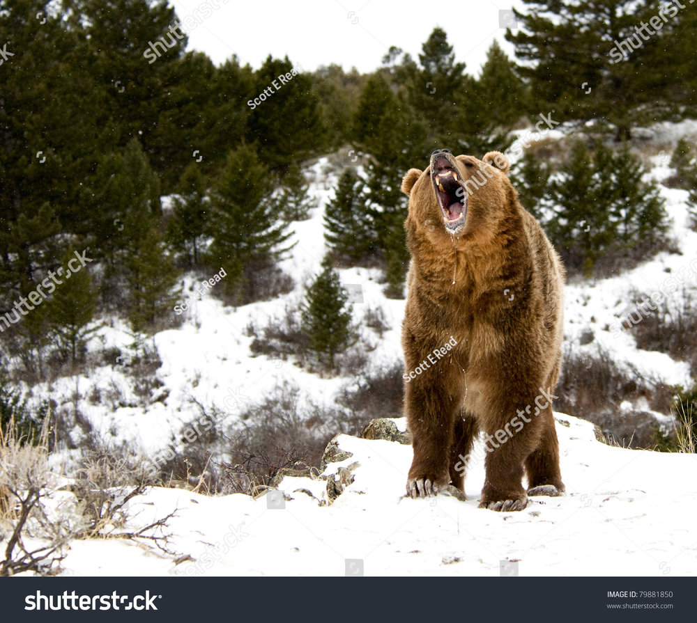stock-photo-roaring-grizzly-on-winter-hill-79881850.jpg