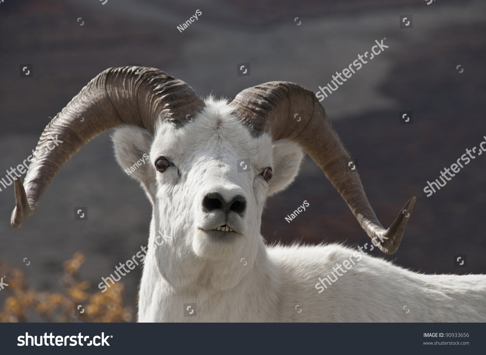 stock-photo-dall-sheep-ram-ovis-dalli-is-the-animal-that-denali-national-park-was-created-to-protect-alaska-90933656.jpg