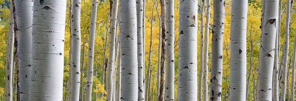 birches.jpg