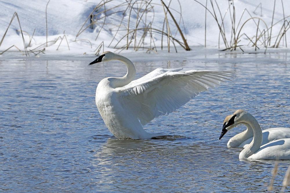 tnwr-swans.jpg